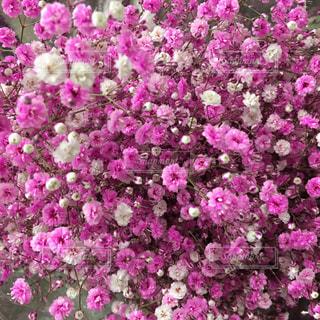 花,かすみ草,ピンク,フラワー,染めかすみ草
