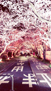 風景,花,春,桜,ピンク,綺麗,夜桜,可愛い,四季,Spring,さくら