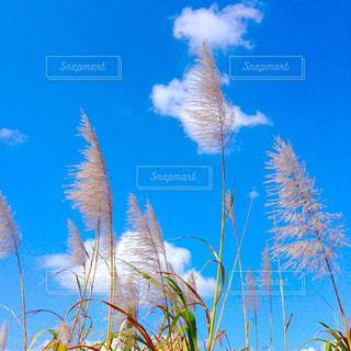 自然,草原,青,ススキ,秋空