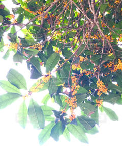 花,秋,金木犀,秋の花,秋空,秋の香りのする花