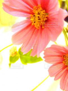 花,秋,コスモス