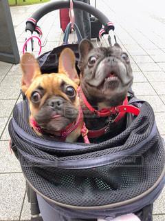 犬,フレンチブルドッグ,仲良し,驚き,姉妹,びっくり