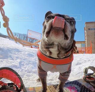 犬,雪,晴天,楽しい,スノボ,ウィンタースポーツ,ボード