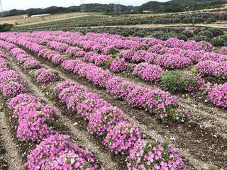 自然,花,ピンク,桃色