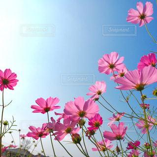 空,花,秋,花畑,コスモス,鮮やか,秋桜