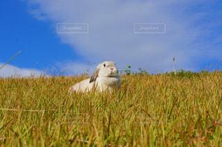自然,空,秋,うさぎ,屋外,草原,青,うさんぽ,ホーランドロップ,ウサギ