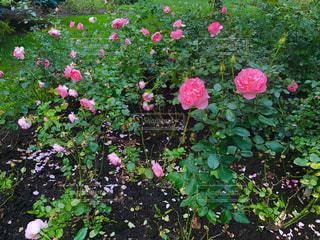 花,花畑,海外,ピンク,緑,植物,綺麗,バラ,景色,草,薔薇,外国,旅行,ローズ,カナダ,モントリオール,景観,草木,日中,花々,ケベック,ピンクローズ