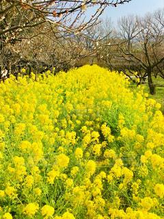 花,屋外,菜の花,満開,イエロー,三月