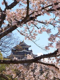 春の岡山城の写真・画像素材[1872439]