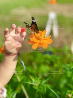 秋,コスモス,子供,オレンジ,秋晴れ,蝶,コスモス畑,チョウチョ