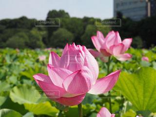 ピンク,上野公園,ロータス,pink,ハスの花