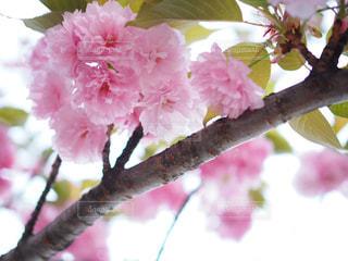 東京,ピンク,上野公園,八重桜,pink,ピンクの世界