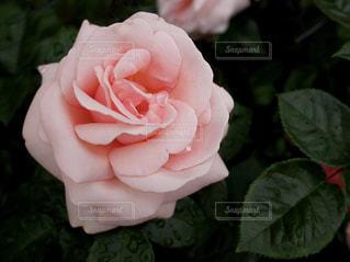 ピンク,バラ,薔薇,札幌,ピンク色,桃色,pink