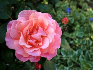 ピンク,バラ,薔薇,ピンク色,桃色,pink