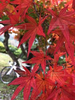 真っ赤なモミジの奥にロードバイクの写真・画像素材[1616825]