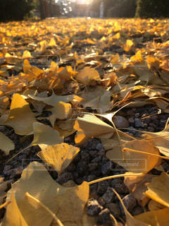 銀杏の絨毯の写真・画像素材[1633218]