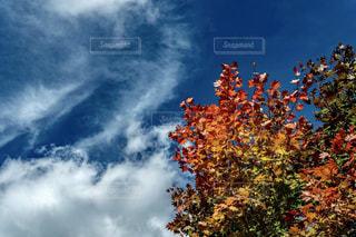 自然,空,秋,紅葉,雲,青空,楓,秋空,カエデ,きれいな空