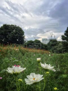 花,コスモス,秋の花,秋空,草木