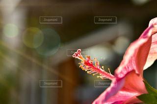 花,屋外,ピンク,ハイビスカス,景色,光