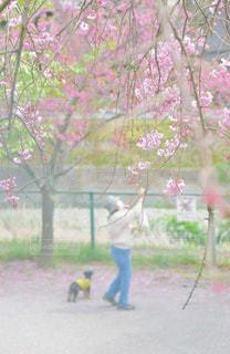 春,桜,ピンク,樹木,色