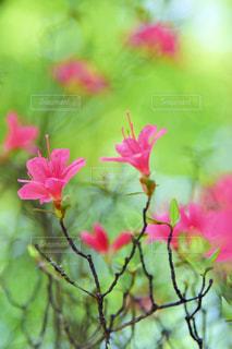 屋外,ピンク,ツツジ,色,色・表現
