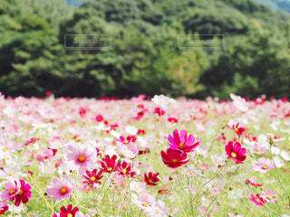 フィールドにピンクの花の写真・画像素材[1471506]