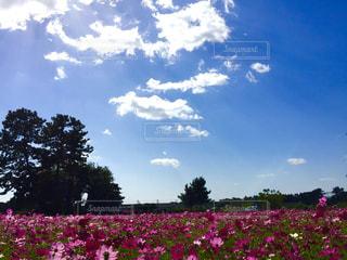 自然,花,秋,花畑,コスモス,コスモス畑,武庫川