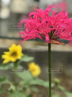 ピンク,彼岸花,ピンク色,桃色,pink,近所,リコリス