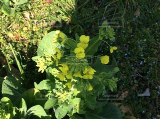 春,屋外,黄色,菜の花,日差し,なのはな,黄緑,黄緑色,自然に生えた,こぼれた種から,こぼれ種