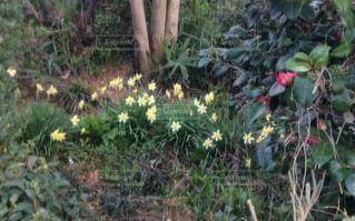 春,庭,屋外,黄色,水仙,スイセン,水仙の花,植えっぱなし,ラッパスイセン