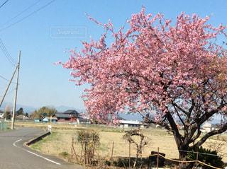 花,春,桜,屋外,ピンク,晴れ,青空,晴天,青,道路,田舎,畑,農地,曲がりくねった道,曲がった道