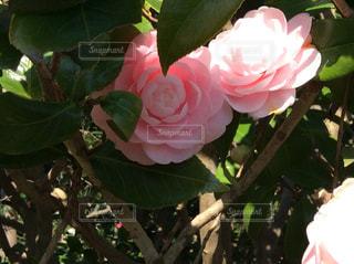 春,屋外,ピンク,椿,深緑,八重,八重咲き,薄紅色,常緑樹,うす紅色