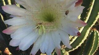 花,屋外,蜂,サボテン,早朝,ミツバチ,草木,蜜蜂,サボテンの花,大輪,花粉,大輪の花,フローラ,羽音,ぶんぶんぶん