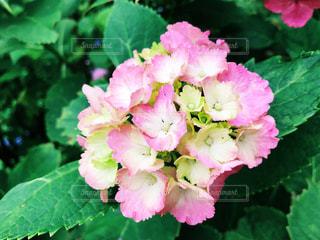 花,ピンク,紫陽花,アジサイ,武蔵五日市,あじさい山,南沢あじさい山