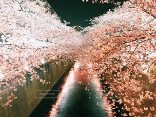 桜の写真・画像素材[1476637]