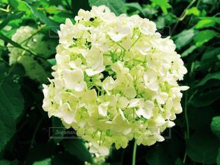 白い紫陽花の写真・画像素材[1657367]