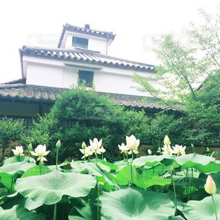 渉成園の蓮の写真・画像素材[1666016]