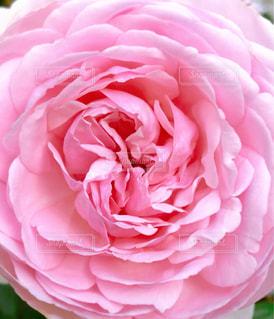 花,ピンク,鮮やか,薔薇