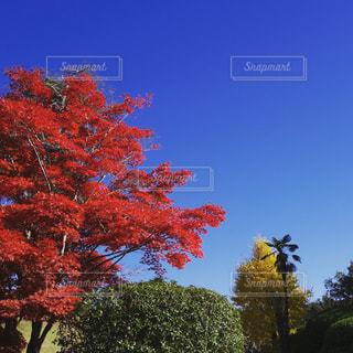 秋,紅葉,赤,青空,快晴,秋空,真っ赤っか