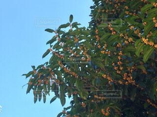 風景,空,秋,木,屋外,青空,快晴,金木犀,秋空