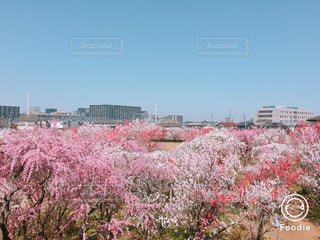 空,ピンク,鮮やか,樹木