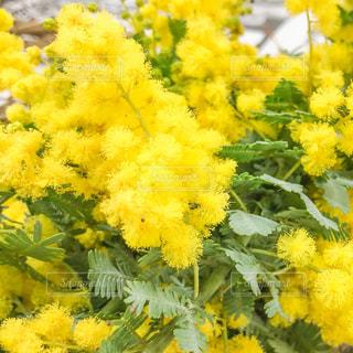 花,植物,花束,黄色,ふわふわ,ミモザ,イエロー,色,黄,色彩,yellow,春