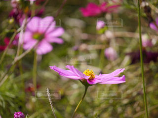 花,秋,ピンク,コスモス,秋桜,コスモスの花
