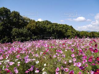 花,ピンク,コスモス,秋桜,万博記念公園,コスモスの花