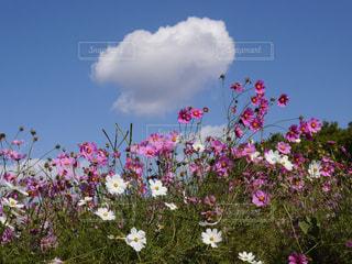 花,ピンク,コスモス,雲,青空,秋桜,万博記念公園,コスモスの花
