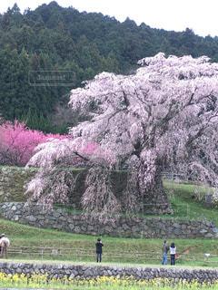 桜,ピンク,しだれ桜,ピンク色