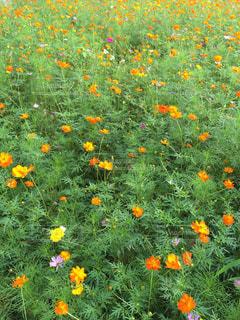 花,コスモス畑