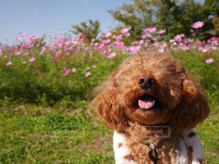 花,ピンク,コスモス,ペット,トイプードル,秋桜,愛犬,徳島,ウチノ海総合公園
