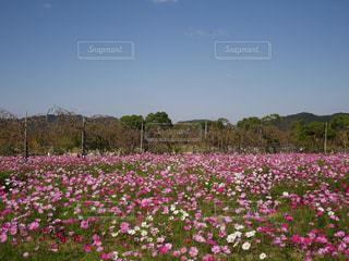 空,花,ピンク,緑,コスモス,秋桜,徳島,秋空,ウチノ海総合公園