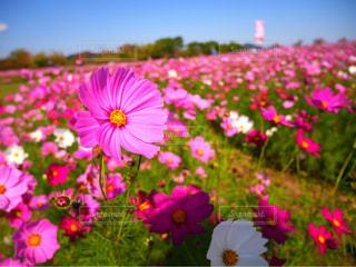 空,花,秋,ピンク,緑,コスモス,秋桜,徳島,秋空